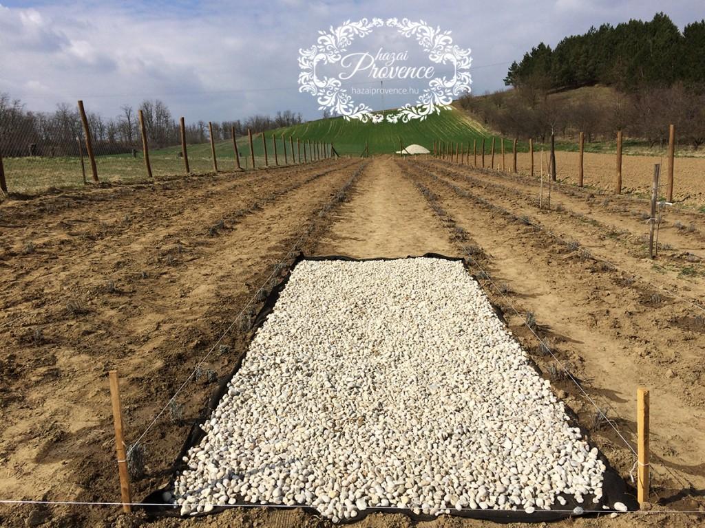 Középen egy 2 méter széles kavicsos utat készítünk, amin végigsétálhatunk a levendulamezőn.
