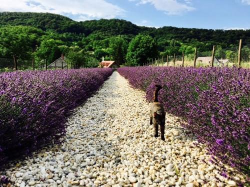 Levendula virágzás 2017 Hazai Provence