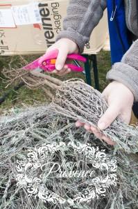 A levendulapalántákat vissza kell metszeni ültetés előtt.