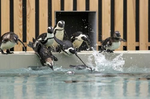 Veszprém, 2015. április 18. Pápaszemes pingvinek a veszprémi állatkert új, a vizes élõvilágot bemutató látványmedencéjében 2015. április 18-án. MTI Fotó: Nagy Lajos